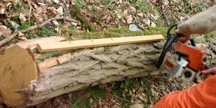 Frisch geschlagenes Holz wird zurecht gesägt